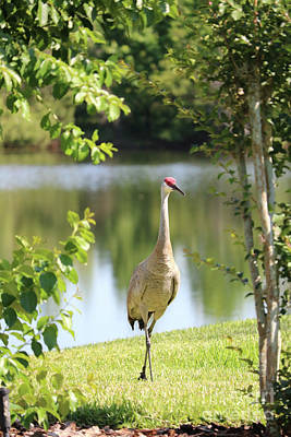 Photograph - Naturally Framed Sandhill Crane by Carol Groenen