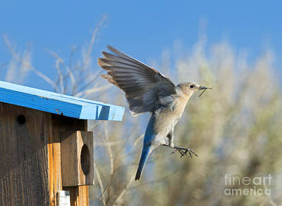 Bluebird Photograph - Nest Builder by Mike Dawson