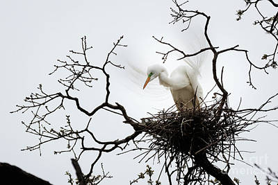 Photograph - Nesting Egret by Richard Smith