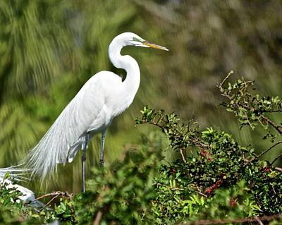 Photograph - Nesting Great Egret by Carol Bradley