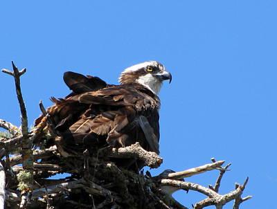 Photograph - Nesting Osprey  by Chris Mercer