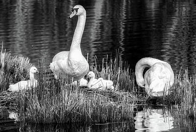 Photograph - Nesting Swans by Kathy Buscher