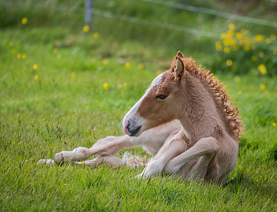 Foal Photograph - New Born Foal, Iceland by Panoramic Images