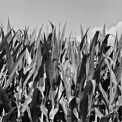 Photograph - New Corn by Patrick M Lynch
