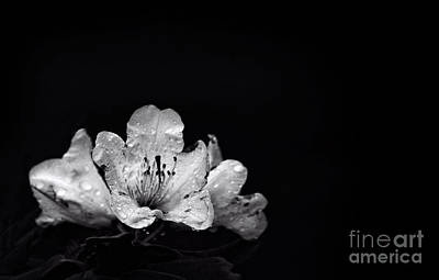 Photograph - Nocturnal Blossom by Evelina Kremsdorf