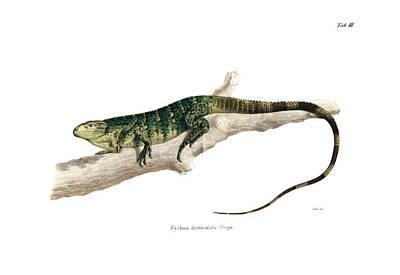 Drawing - Northeastern Spiny-tailed Iguana, Ctenosaura Acanthura by Carl Wilhelm Pohlke