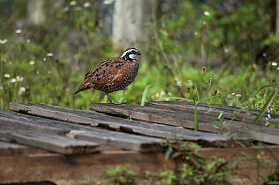 Photograph - Northern Bobwhite by James Petersen