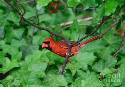 Northern Cardinal Art Print by Alicia Collins