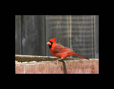Photograph - Northern Cardinal 2 by Edward Peterson