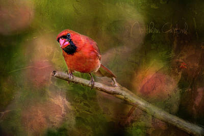 Photograph - Northern Cardinal by Irwin Seidman