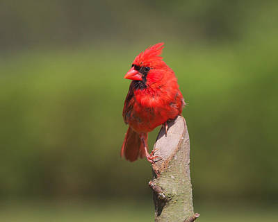 Photograph - Northern Cardinal by Kimberly Kotzian