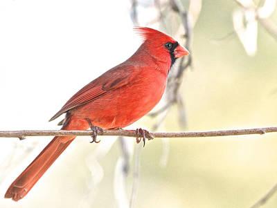 Photograph - Northern Cardinal by Linda Shannon Morgan
