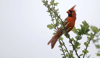 Dainty Daisies - Northern Cardinal Portrait by Roy Williams