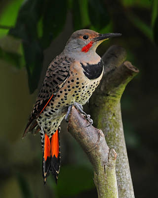 Photograph - Northern Flicker by Jack Moskovita