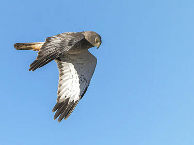 Photograph - Northern Harrier by Tam Ryan