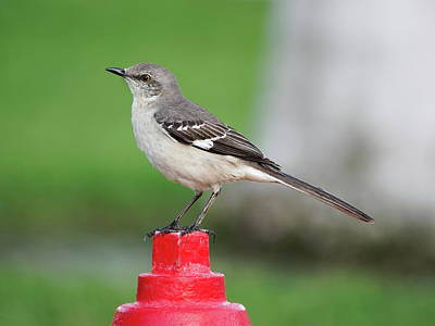 Door Locks And Handles - Northern Mockingbird in Profile by Jill Nightingale