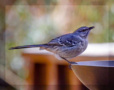 Photograph - Northern Mockingbird by Robert L Jackson