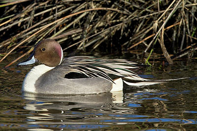 Photograph - Northern Pintail Drake by Craig Strand
