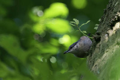 Photograph - Nuthatch by Wendy Cooper