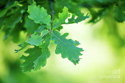 Photograph - Oak Branch by Kati Molin