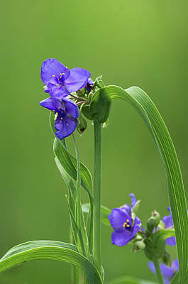 Photograph - Ohio Spiderwort by Jim Zablotny