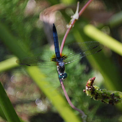 Metal Dragonfly Photograph - Old Blue Eyes by Suzanne Gaff