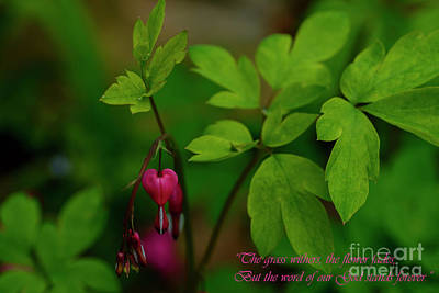 Isaiah 40 Photograph - Old-fashioned Bleeding Heart by Thomas R Fletcher