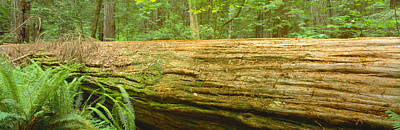 Fir Trees Photograph - Old-growth Redwoods At Jedediah Smith by Panoramic Images