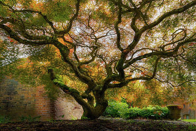 North America Photograph - Old Japanese Maple Tree by David Gn