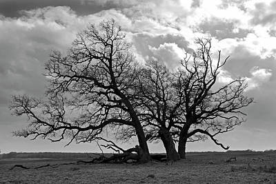 Photograph - Old Oak by Inge Riis McDonald