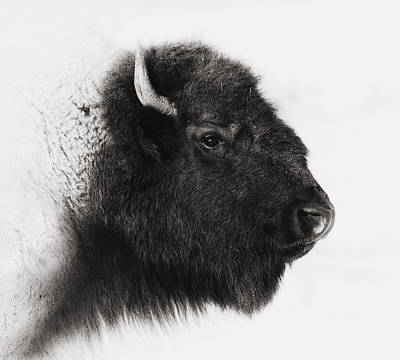 Bison Wall Art - Photograph - Once We Were Many by Ron  McGinnis