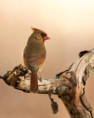 Northern Cardinal Birds Photograph - One Last Look by Everet Regal