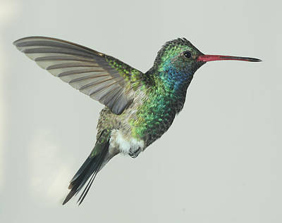 Broadbilled Hummingbirds Photograph - One Winged Wonder by Gregory Scott