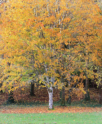 Photograph - Orange Autumn Tree by Pierre Leclerc Photography