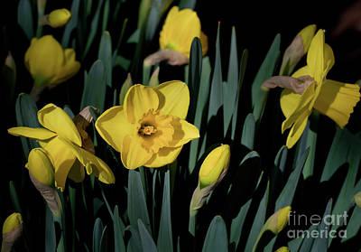 Camelot Daffodils Art Print