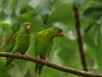 Orange -chinned Parakeets  Art Print