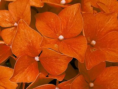 Photograph - Orange Flowers by Colin Drysdale