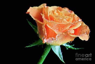 Orange Peach Rose Art Print by Tracy Hall