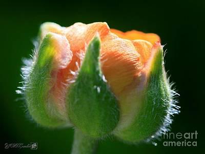 Photograph - Orange Ranunculus by J McCombie