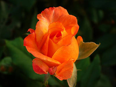 Photograph - Orange Rose by Sandy Keeton