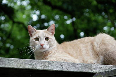 Wall Art - Photograph - Orange Tabby by Megan Cohen