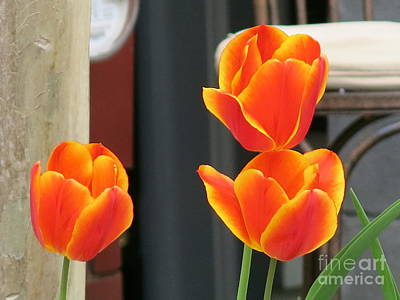 Photograph - Orange Yellow-edged Tulips by Rod Ismay