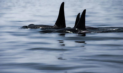 Photograph - Orca Family - Digitally Painted by Marilyn Wilson