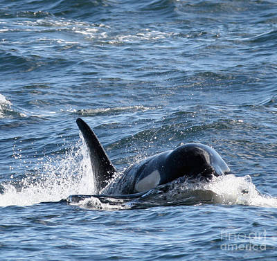 Orca Whales In The San Juan Islands Art Print by Sandy Buckley