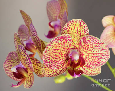 Photograph - Orchid by Cheryl Del Toro