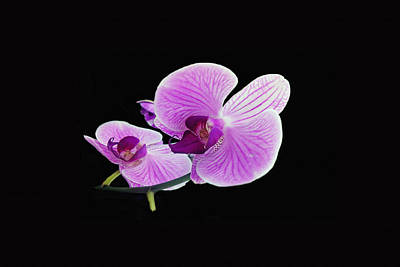 Photograph - Orchid by Dennis Buckman