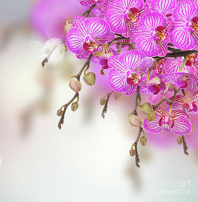 Photograph - Orchid Flowers  Branch by Anastasy Yarmolovich