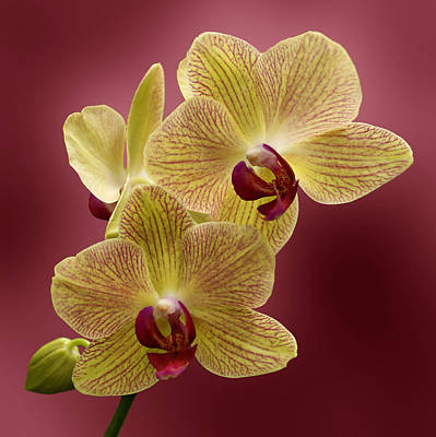 Orchid Art Print by Sandy Keeton