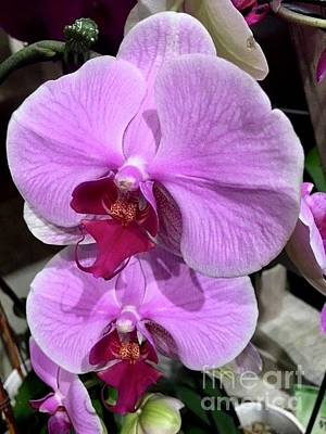 Photograph - Orchids In Fuchsia  by Jeannie Rhode
