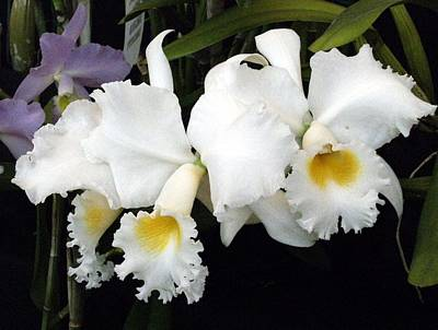 Orchids In White Original
